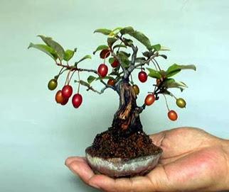 Forma multiflora elaeagnus orbiculata