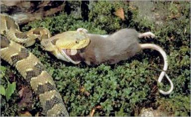 serpiente-comiendo-raton1 - copia