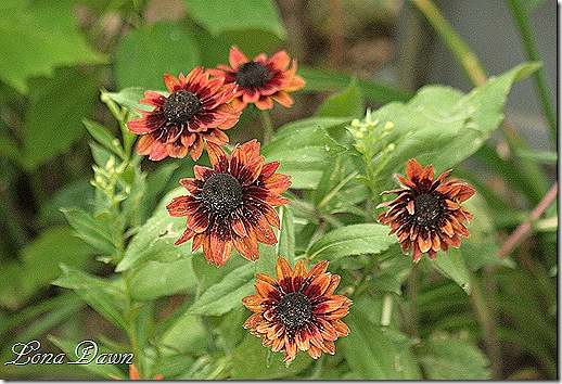 Rudbeckia_July29