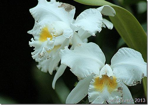 LG_Orchids2