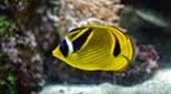 Biodiversité poisson papillon rayé