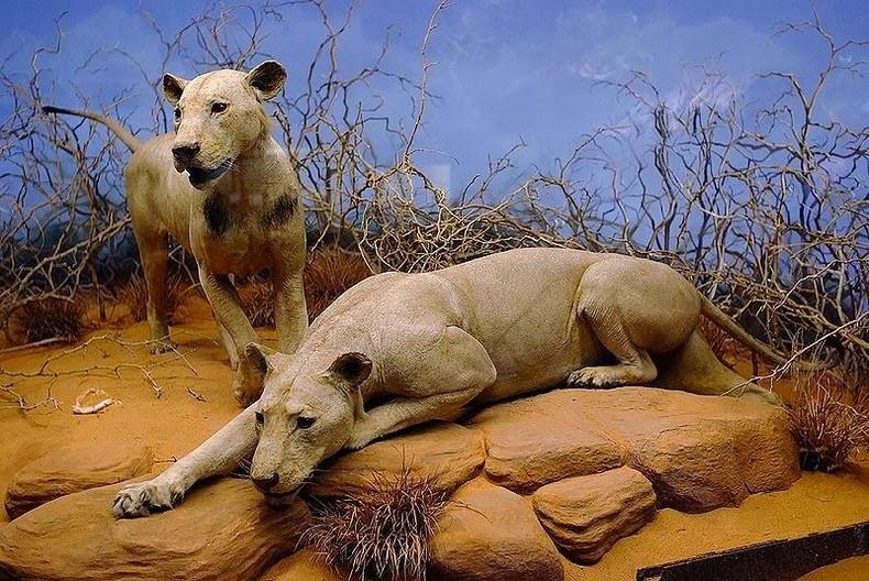 tsavo-lions-3