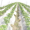 Warraichagrifarms.com-Tunel-Farming57.JPG