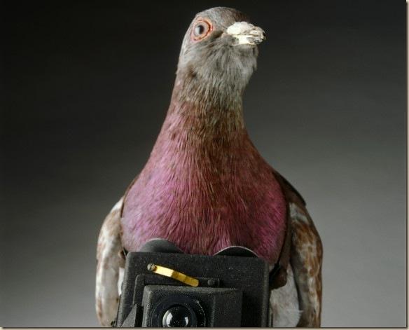 lrg_38_pigeon_2