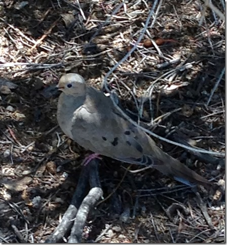 Mother Mourning Dove 8-9-2013 11-10-34 AM 2042x2206
