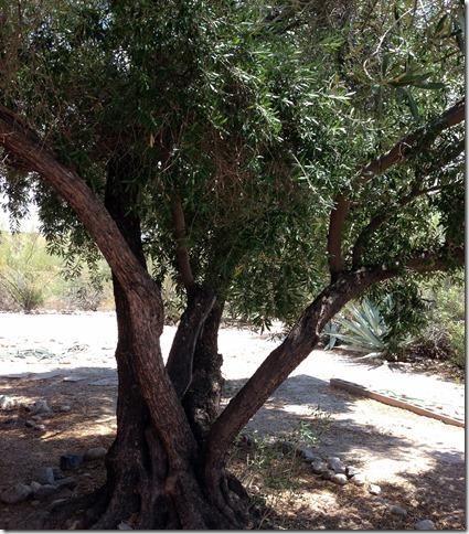 Olive tree 7-15-2013 1-25-25 PM 2448x3264