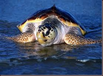 Amazing Pictures of Animals Caretta Caretta  Loggerhead sea turtle.Alex (8)