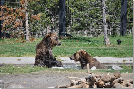 Yellowstone NP & Grizzly & Wolf Ctr 236