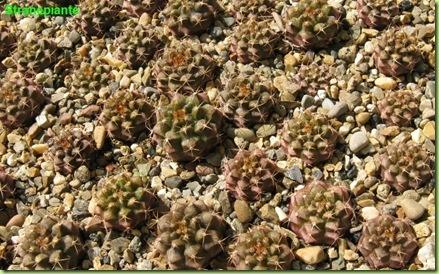 semenzali ripicchettati