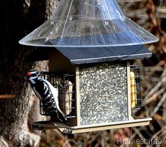 DSC_0575 hairy woodpecker