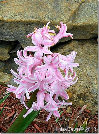 Hyacinth_Pink