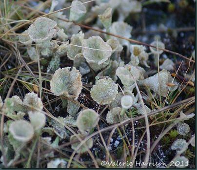 7-lichen