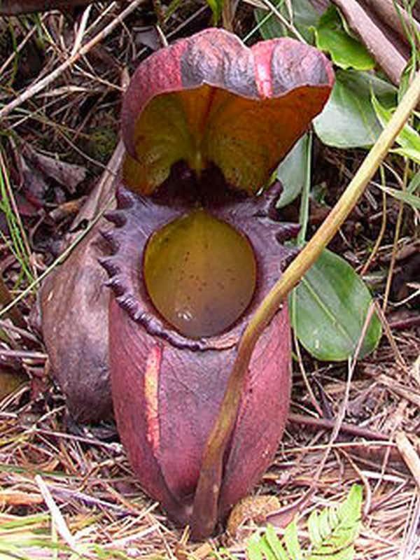 3- Maior planta carnívora do mundo