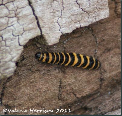 18-cinnabar-caterpillar