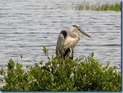 7779 Black Point Wildlife Drive, Merritt Island National Wildlife Refuge, Florida - Great Blue Heron