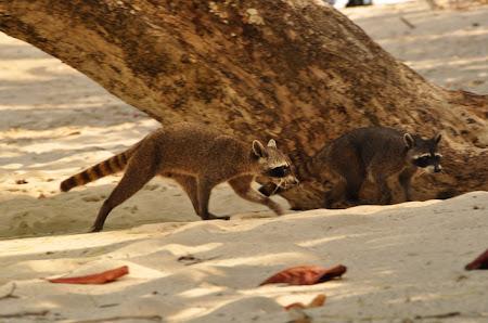 Fauna Costa Rica: Hotii de la rucsacuri