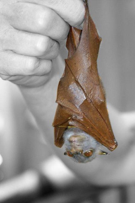 leaf mimickig tubenose bat 01