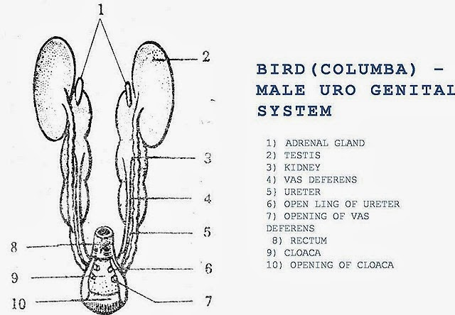 bird-reproductive-system-male