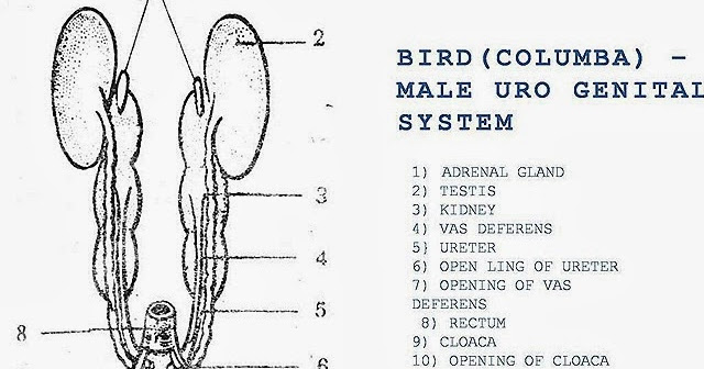 Male Reproductive System Of Bird