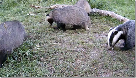 Badger cam