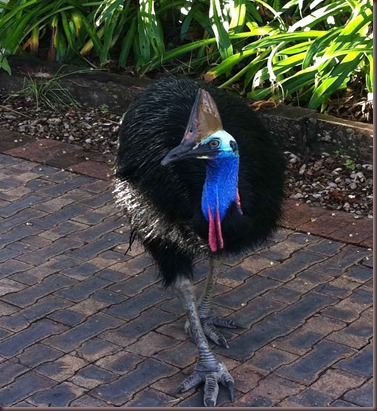 Amazing Animal Pictures The cassowary (7)