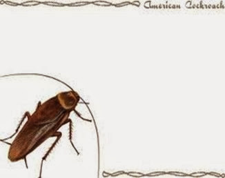 Amazing Pictures of Animals,Photo, Nature, Incredibel, Funny, Zoo, Cockroaches,Blattaria or Blattodea, Insecta, Alex (7)