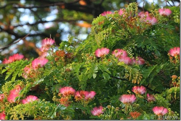albizia saman flower