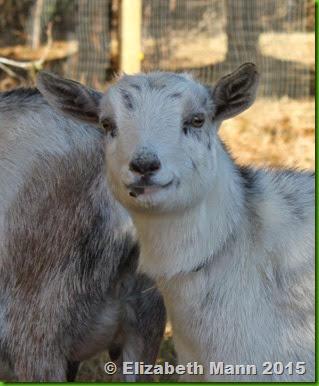 27-white goat