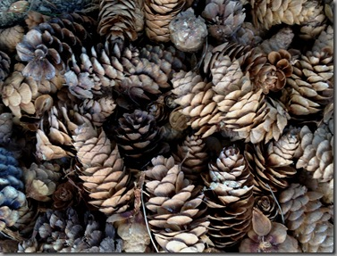 cones of white spruce