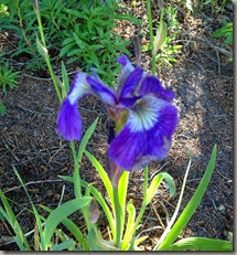 unloved, water, abandoned Iris: still ticking!
