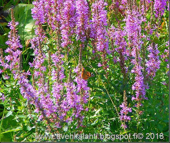 vijapelto perhosnen kuvia 005