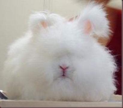 Amazing Animal Pictures Angora Rabbit (1)