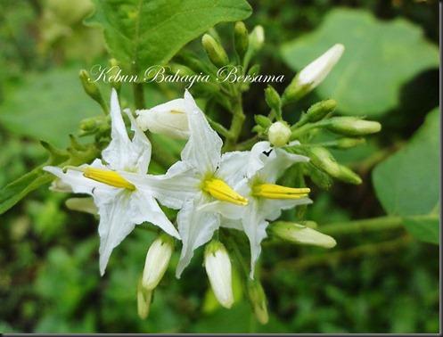 White Bunga Burung Pipit