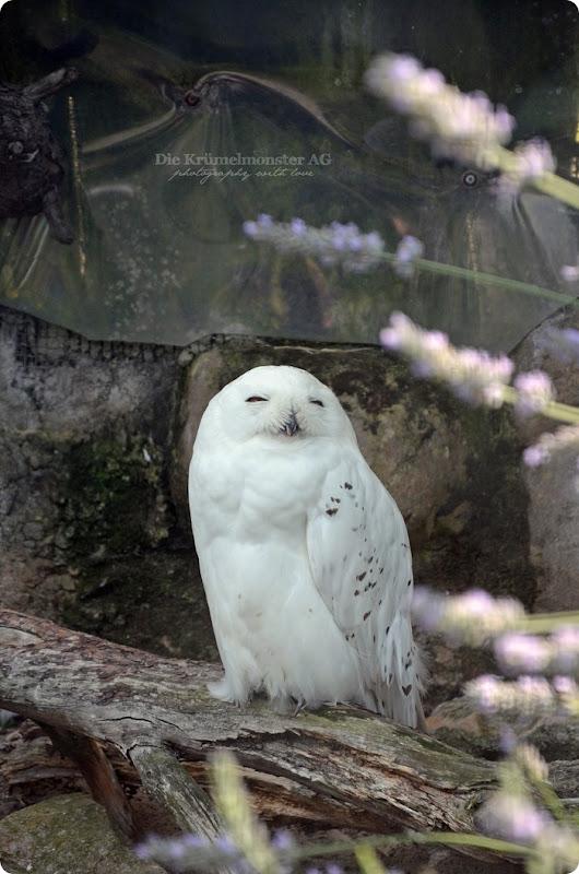Wremen 29.07.14 Zoo am Meer Bremerhaven 36 Schneeeule