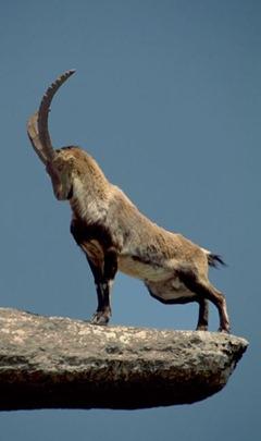 cabra montesa2
