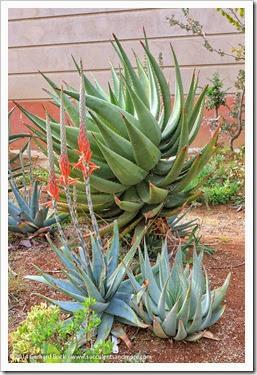 141123_UCDA_Aloe-suprafoliata_008