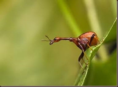 Amazing Pictures of Animals, photo, Nature, exotic, funny, incredibel, Zoo, Giraffe weevil, Insecta, Alex (5)