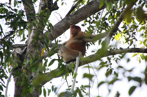A male proboscis monkey.  The most famous nose in Borneo.