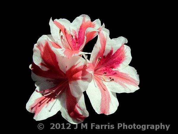 Pink White Azaleas