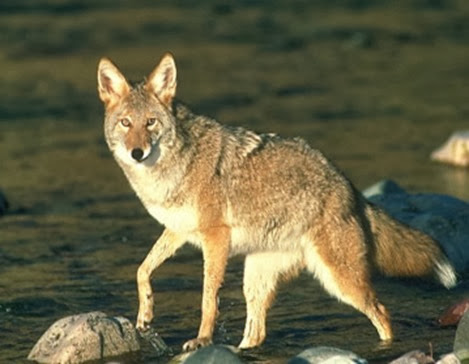 Amazing Pictures of Animals, Photo, Nature, Incredibel, Funny, Zoo, Coyote, Canis latrans, Alex (8)