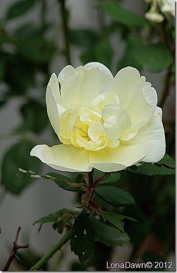 Rose_Last