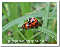 ladybird mating 03