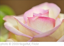 'Rose' photo (c) 2009, tiegeltuf - license: http://creativecommons.org/licenses/by-sa/2.0/