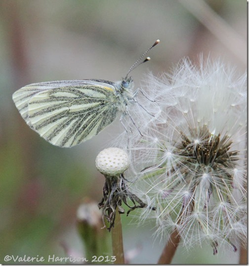 38 green-veined-white