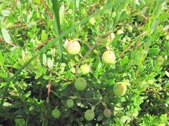 cranberries Crismson Queen planted spring 2011 vines w berries