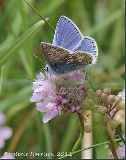 common-blue (2)