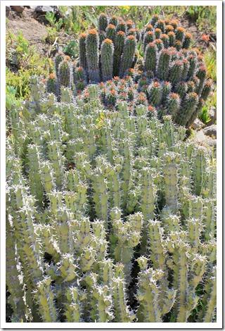 130428_UCBG_SpringSale_Euphorbia-coerulescens_01