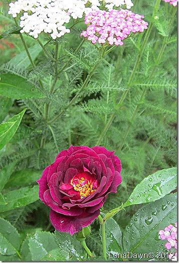 Rose_Midnight_Blue_Yarrow
