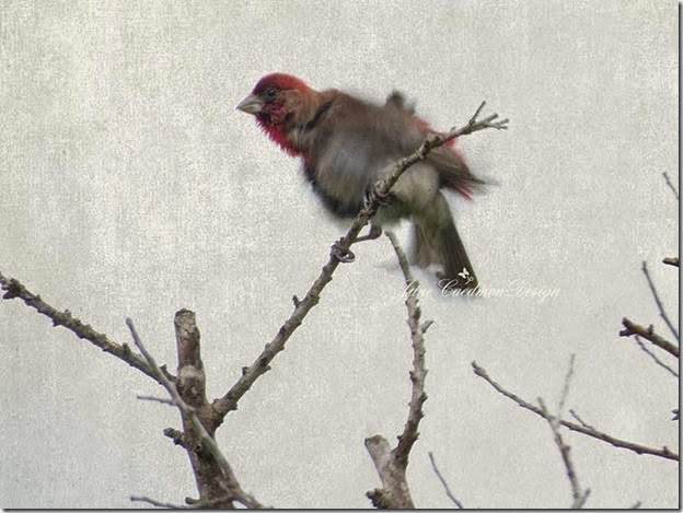 HouseFinch_Shaking