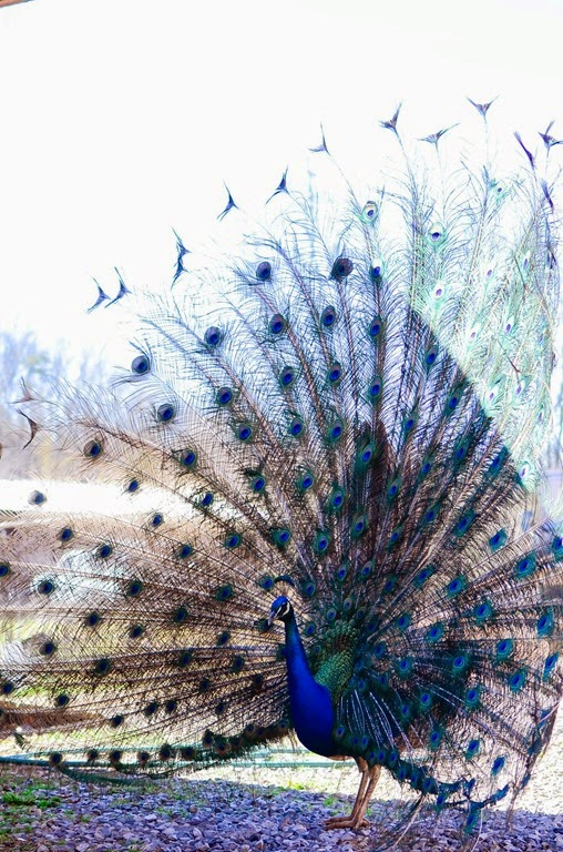peacock-19477